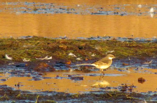 Wagtail wading in dam at sunset