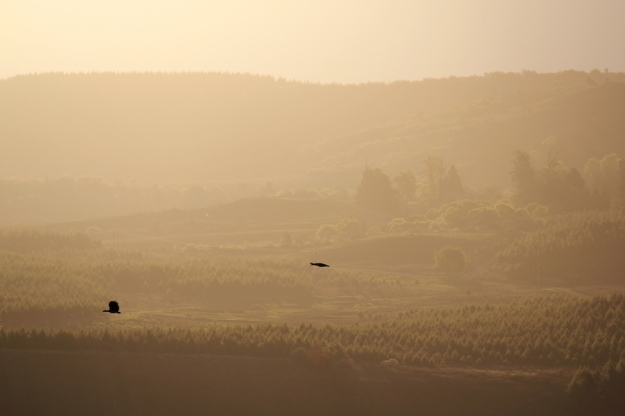 Hadeda Ibis fly to roost in golden sunset.