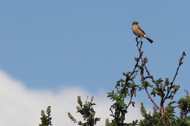 A female African Stonechat sits sentinel on Leucosidea sericea.