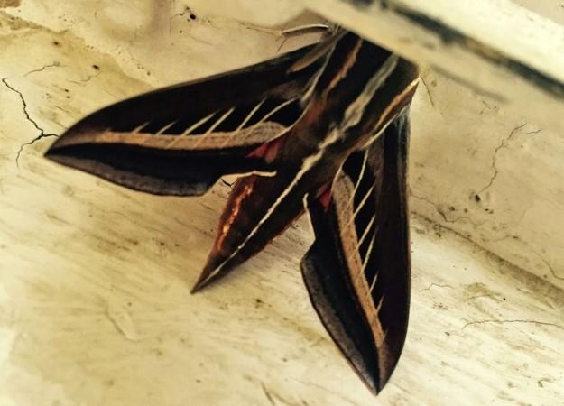 2015-09 moth