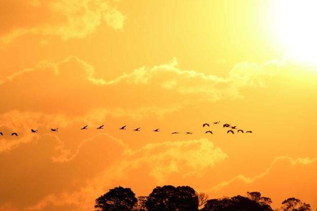 Floater flock of Grey Crowned Cranes