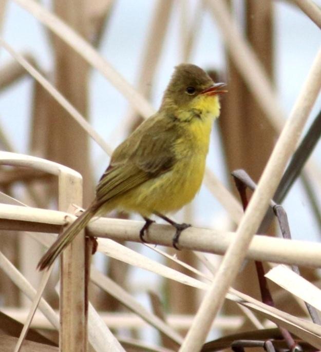 Dark-capped Yellow Warbler
