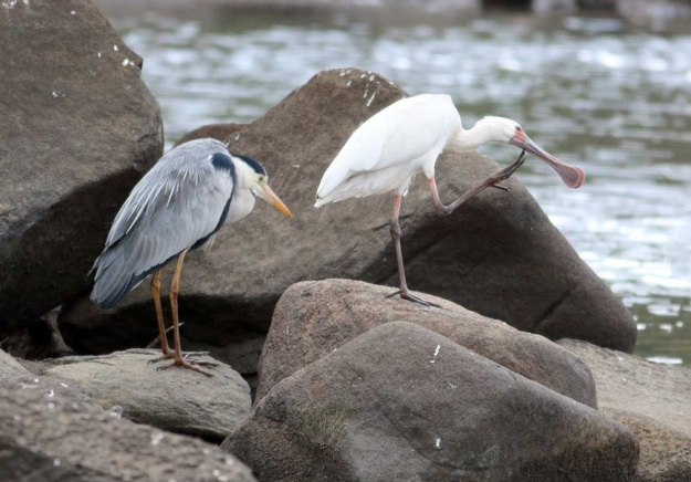 Grey Heron and African Spoonbill