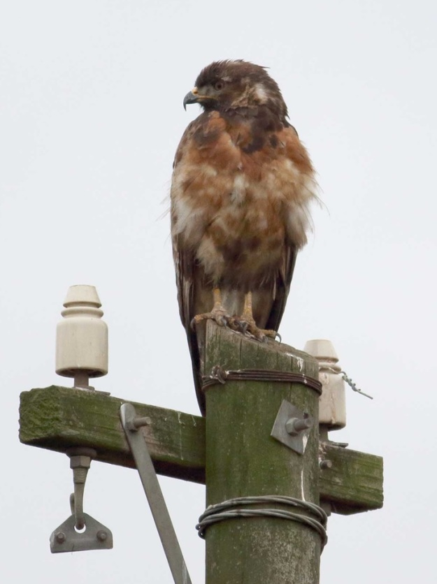 Jackal Buzzard with immature plumage