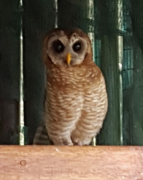 Jesse the Wood Owl
