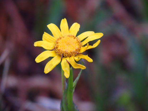 Orthonna natalensis?