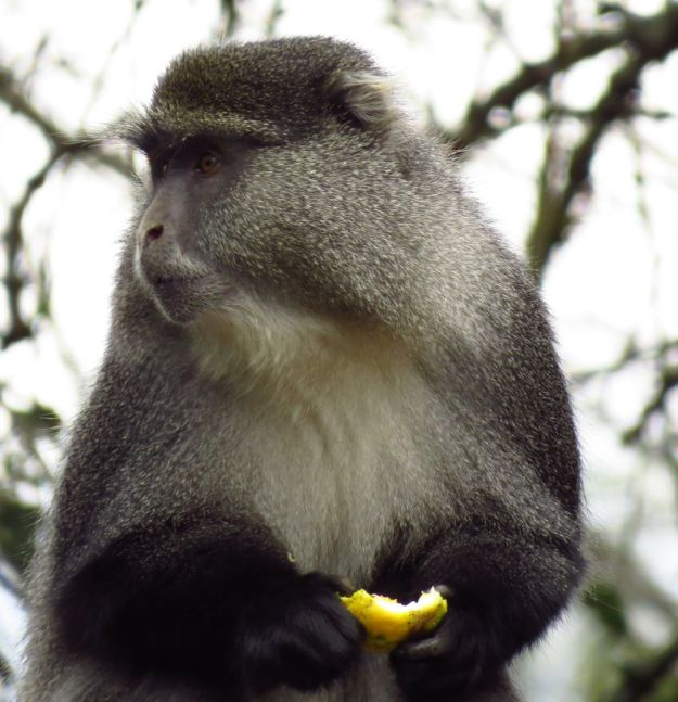 Samango monkey eating a lemon
