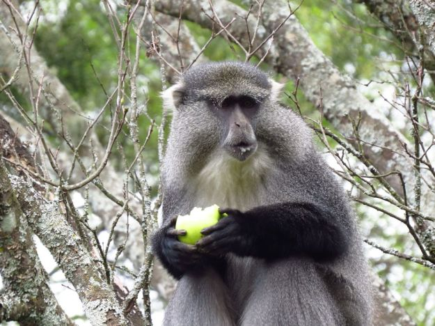 Samango monkey eating my fruit