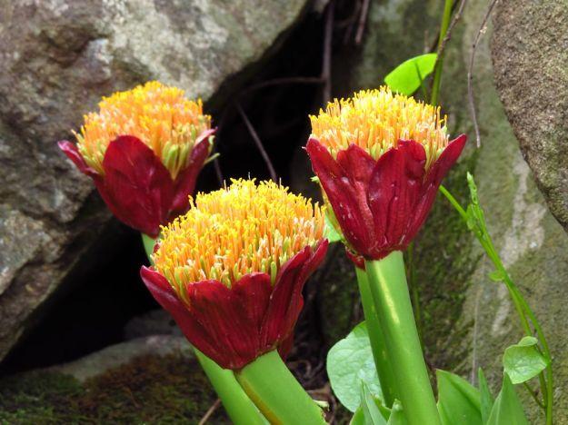 Scadoxus puniceus - Snake Lily
