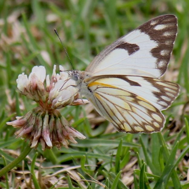 Brown-veined White Butterfly - Belenois aurota aurota
