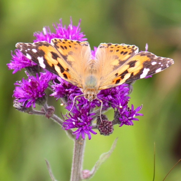 Painted Lady - Vanessa cardui on Vernonia hirsuta