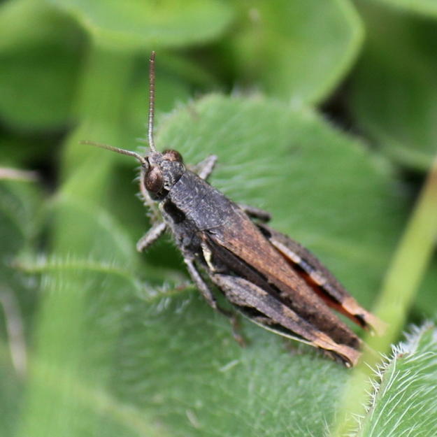 Grasshopper - Canantops humeralis