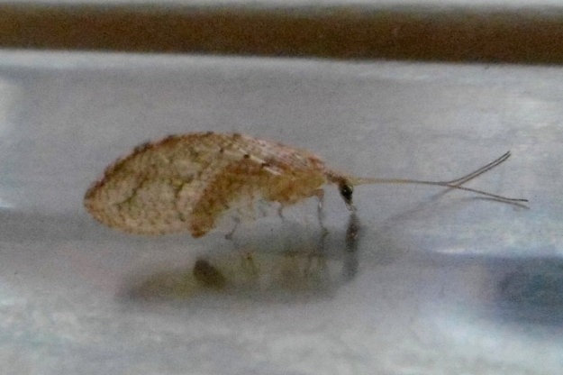 Hemerobiidae - Brown lacewing