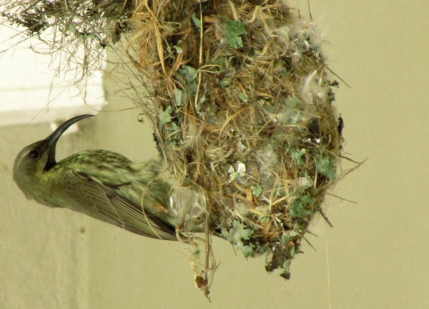 Female Amethyst Sunbird with a gorgeous nest
