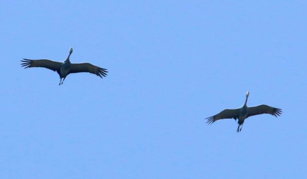 A Pair of Blue Crane flying overhead