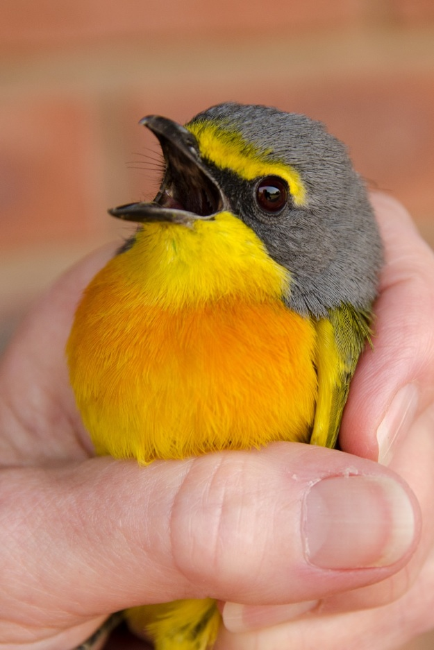Orange-breasted Bush Shrike by Richard Booth