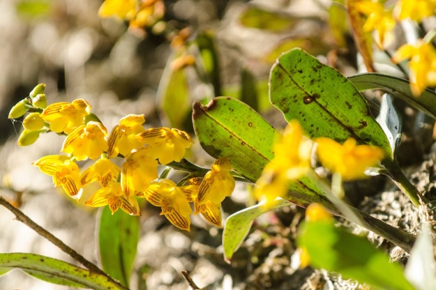 Polystachya pubescens, an orchids that grow in the cool forest at Mbona
