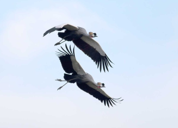 Grey Crowned cranes coming in to land at the nesting site where they successfully raised one of three chicks this year.