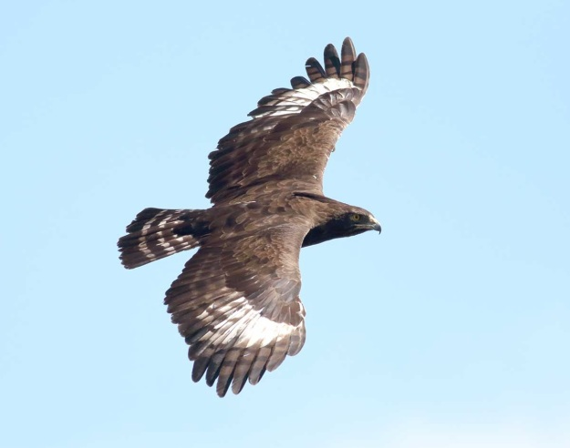 Long-crested Eagle in flight