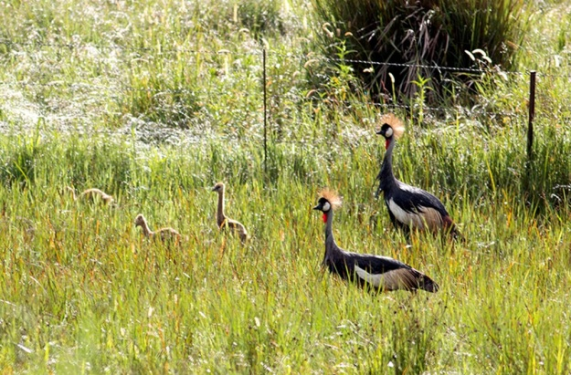2015 Grey Crowned Crane family hatched on The Willows