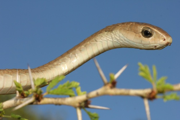 Boomslang (female)