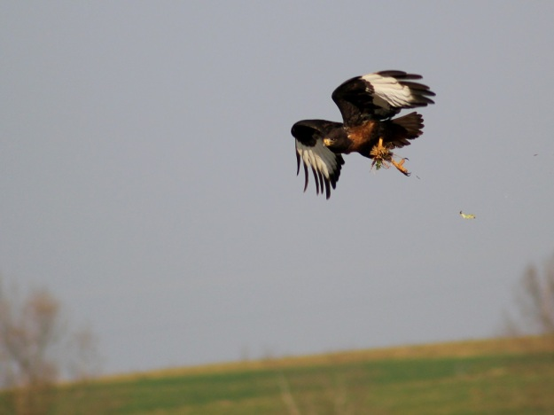 A Jackal Buzzard caught some rodent salad.