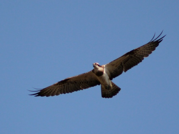 This Osprey was seen daily. This sighting was out of season for inland distribution.