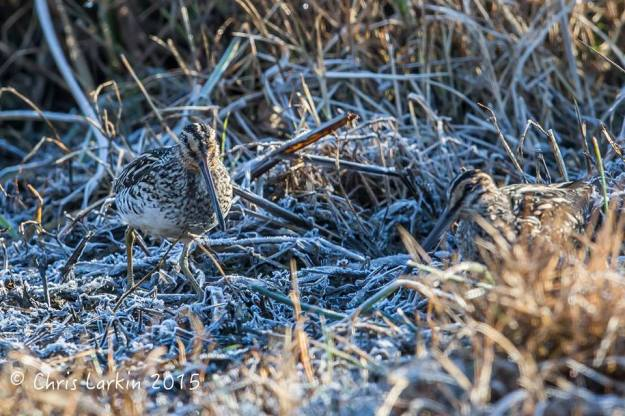 African Snipe on the cold and frosty vegetation. Photographed by Chris Larkin