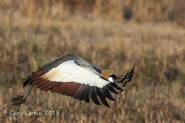Grey Crowned Crane in flight. Photographed by Chris Larkin