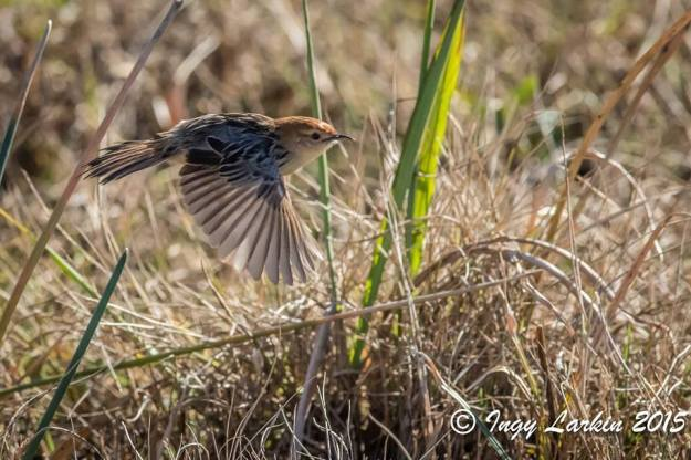 Levaillant's Cisticola in flight. Photographed by Ingy Larkin