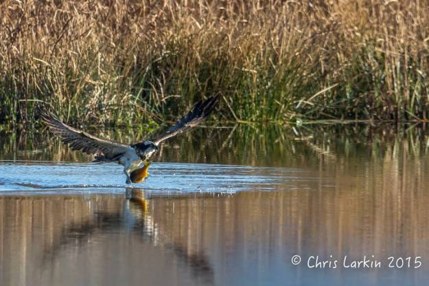 Chris Larkin photographed this special sighting of the Osprey emerging out of the water with a meal fit for a king.