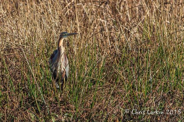 Purple Heron well camouflaged. Photographed by Chris Larkin