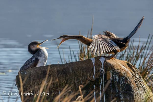 White-breasted Cormorant and an African Darter having a squabble. Chris Larkin captured this typical book club scene.