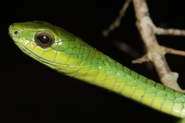 Boomslang (male)- Thicker than the harmless green snakes, with a much larger head and eyes, these snakes are actually South Africa's most toxic snake species. Fortunately, they are very shy and are reluctant to bite unless harassed. Interestingly, and quite uniquely amongst South African Snakes, they are sexually dimorphic. Males are green with black patterns, while females are a drab brown colour.