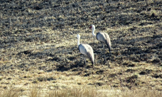 The Wattled Crane parents feeding in the burnt veld.