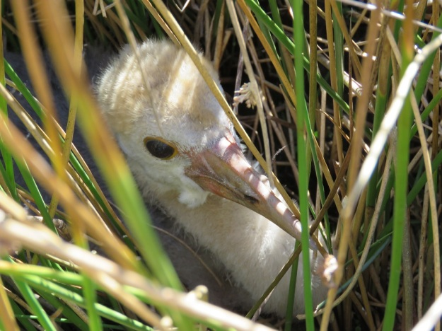 "Wattled Crane chick playing ""hide-and-go-seek"" in the veld."
