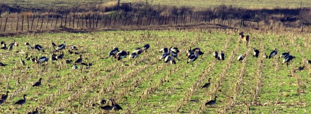 Part of a flock of 50 Grey Crowned Cranes with a Common Reedbuck in the background.