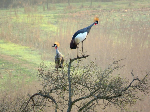 Grey Crowned Cranes are the only cranes that can perch in trees.