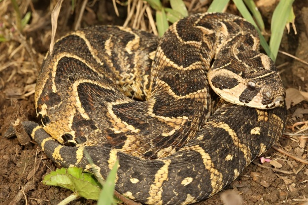 Puff Adder - Quite common in the Midlands and highly venomous. They are a thick-bodied snake, with chevron markings and a large head, that are responsible for a few snakebites every year. This is because they prefer to keep still and rely on their camouflage to conceal them. They will not definitely bite if stood on.