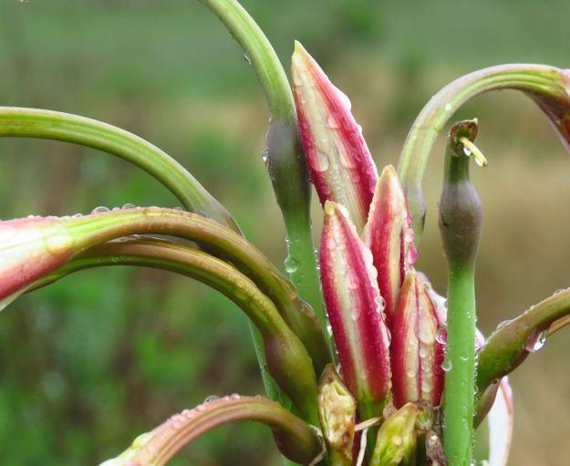 Crinum macrowanii