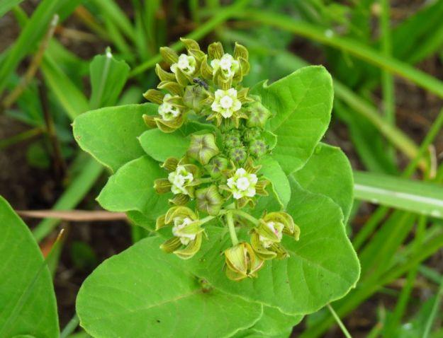 Schizoglossum cordifolium