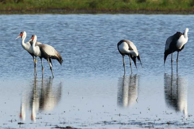 Wattled Cranes by Adam Riley