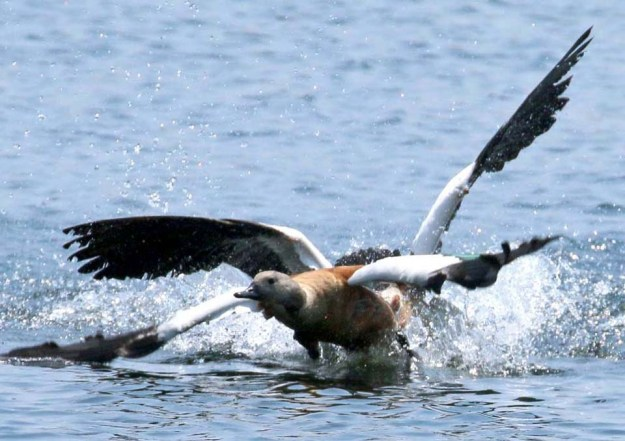 Male Shelduck being chased by Egyptian Goose