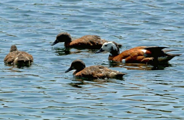 Shelduck Family, only 3 of the original 8 babies are left