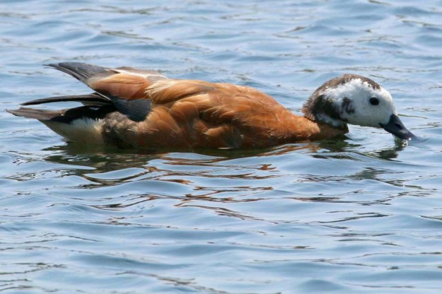 South African shelduck or Cape shelduck (Tadorna cana), this is the female