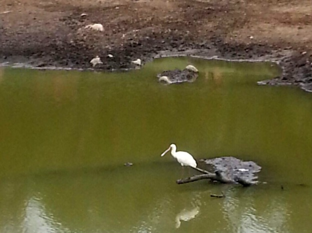 Spoonbill making the most of the low water levels