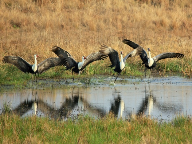 "The Wattled Cranes were extremely active and even gave us a rendition of the ""Can-Can"" dance."