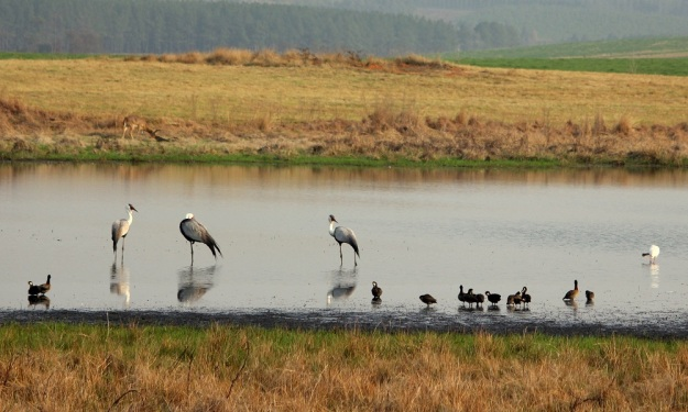 A typical winter scene with Wattled Cranes amongst the White-faced Ducks in the foreground and a Common Reedbuck grazing in the background.