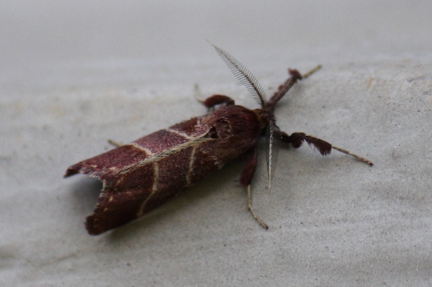 Slug moth, Family Limacodidae