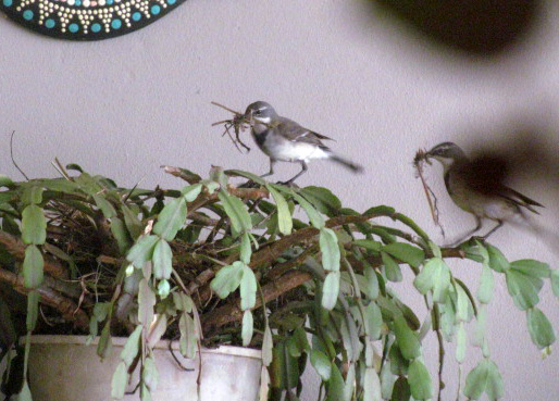 A pair of wagtails building nest in pot plant on verandah